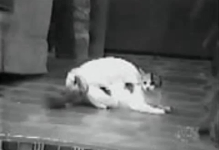 Rabid rabbit tries to fuck a kinky cat